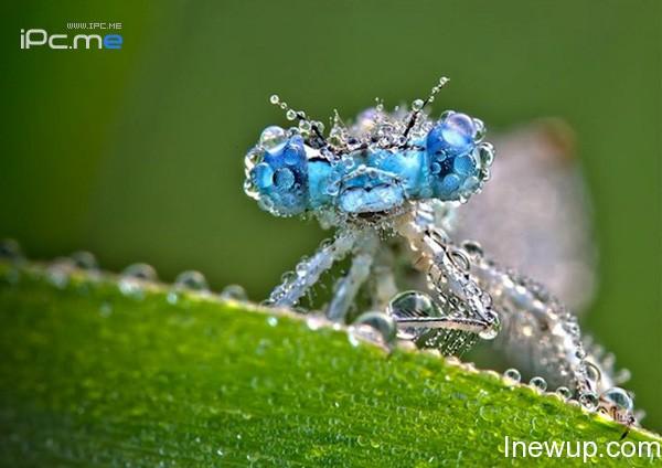 披着露珠的昆虫摄影